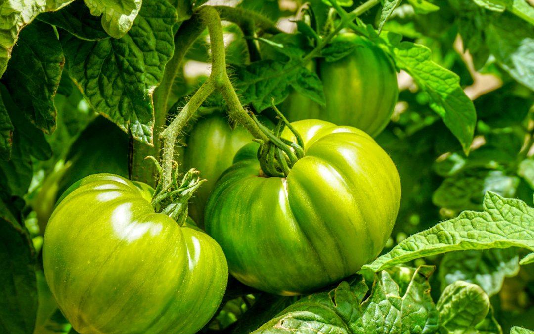 Algas Pacific: Beneficios en cultivo de tomate